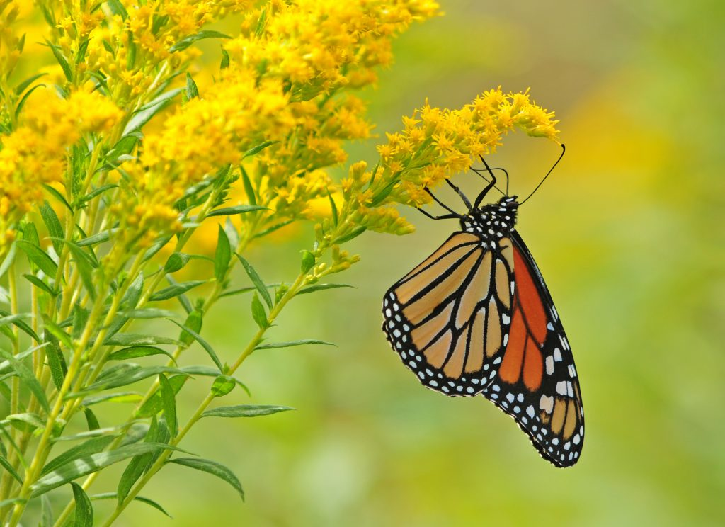 Monarch butterfly, danaus plexippus, clinging to yellow goldenrod wild flower