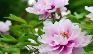 Pink Tree Peony Flowers