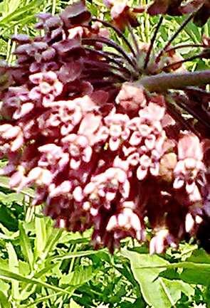 rsz_1rsz_milkweed_flower